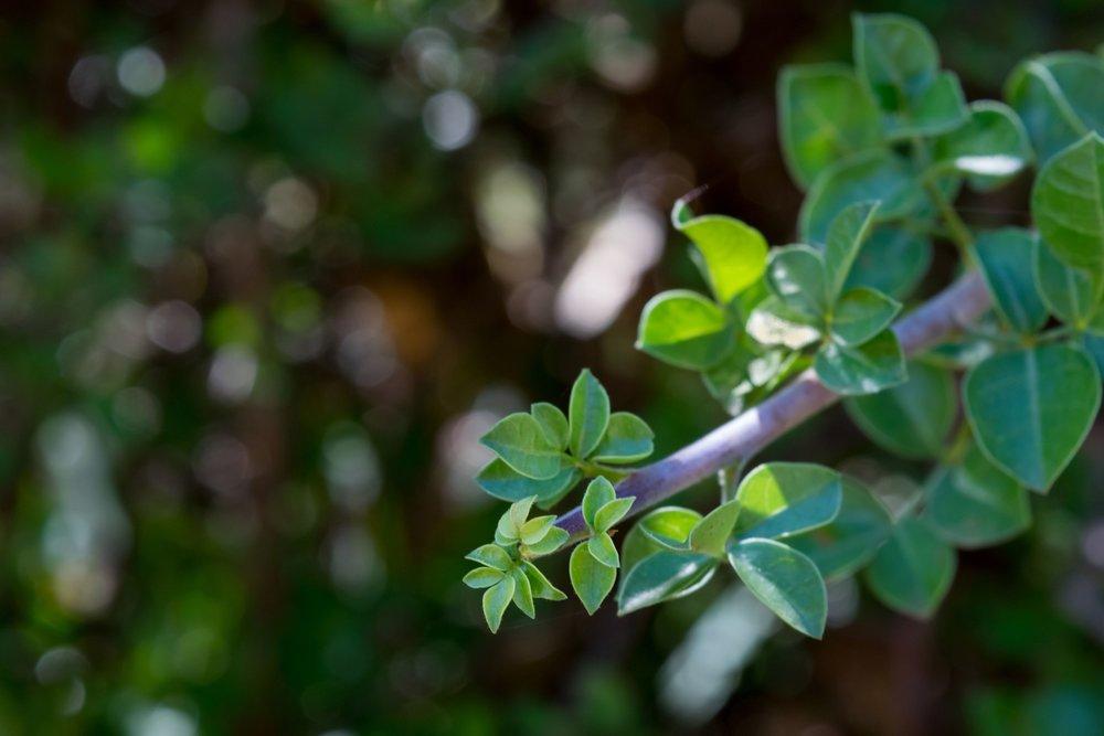 Flex5-Aromatherapy-Myrrh-Commiphora-Myrrha-Essential-Oil-Uptown-Charlotte-NC