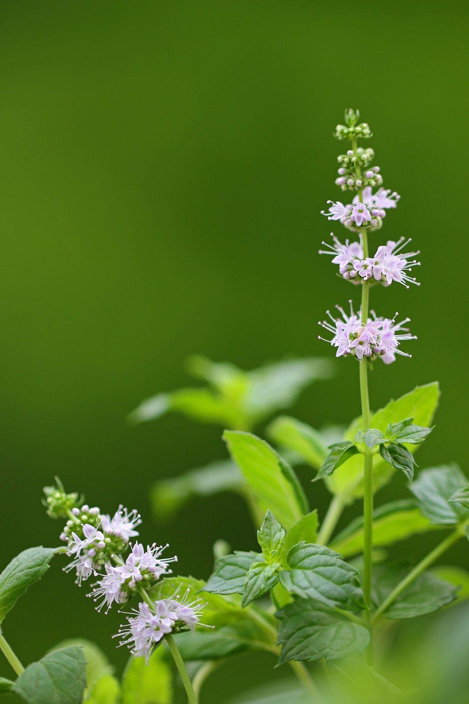 Flex5-Aromatherapy-Mentha-Spicata-Spearmint-Essential-Oil-Uptown-Charlotte-NC