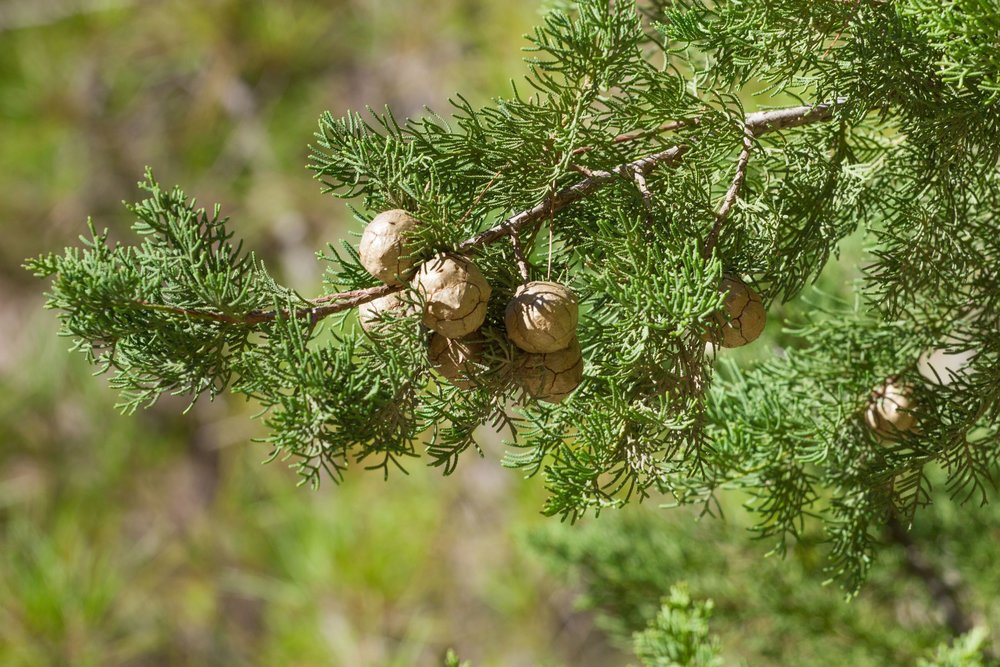 45658423 - branch of cypress  cones  in the mediterranean
