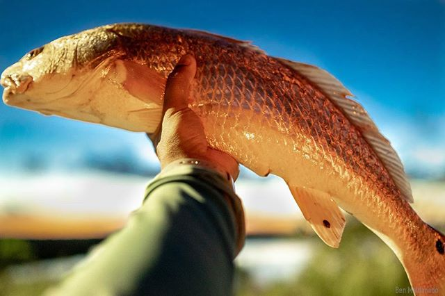 Another quick afternoon trip. Redfish are cruising around the marsh busting up shrimp along the shoreline. Took a couple home for dinner. #redfish #kayakfishing #hobiefishing