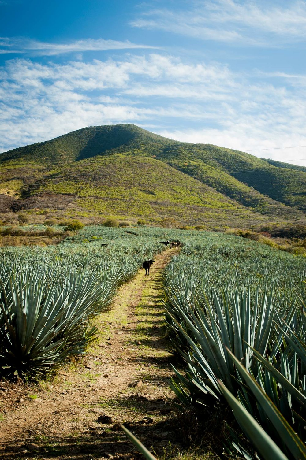 Agave Plantation, 'Succulent Mexico' Series | Mexico
