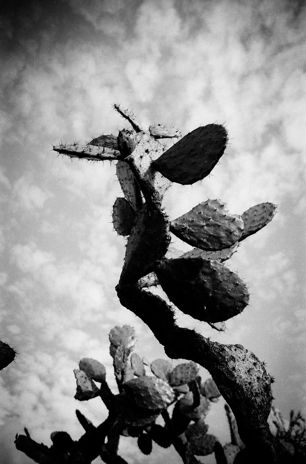 Cactus, 'Succulent Mexico' Series | Mexico
