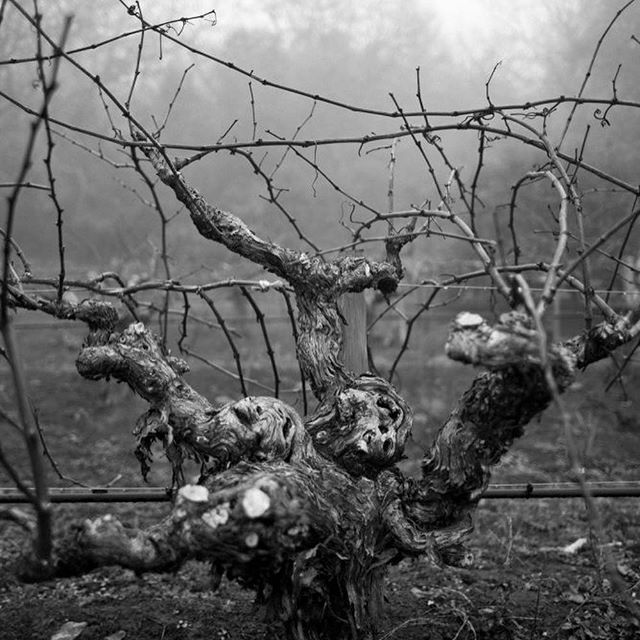 Vineyards at Hanzell include blocks established in 1953, home to the oldest continuously producing Pinot Noir & Chardonnay Vineyard in North America.  We can't wait to learn all about this Certified Historic Vineyard 🍇 February 14th ❤️