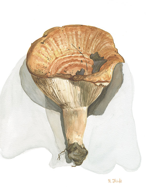 "Golden Milkcap   Watercolor on Paper  5"" x 12""    Purchase print"