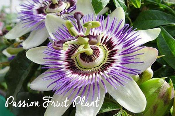 passion plant