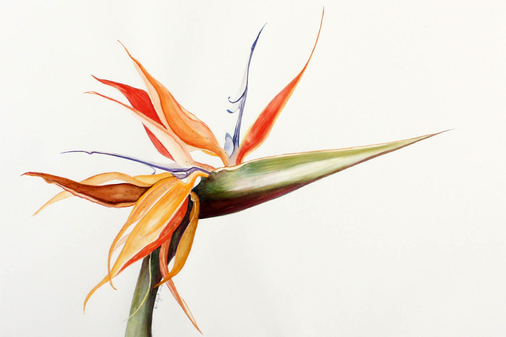 Bridget Heneck botanical drawings