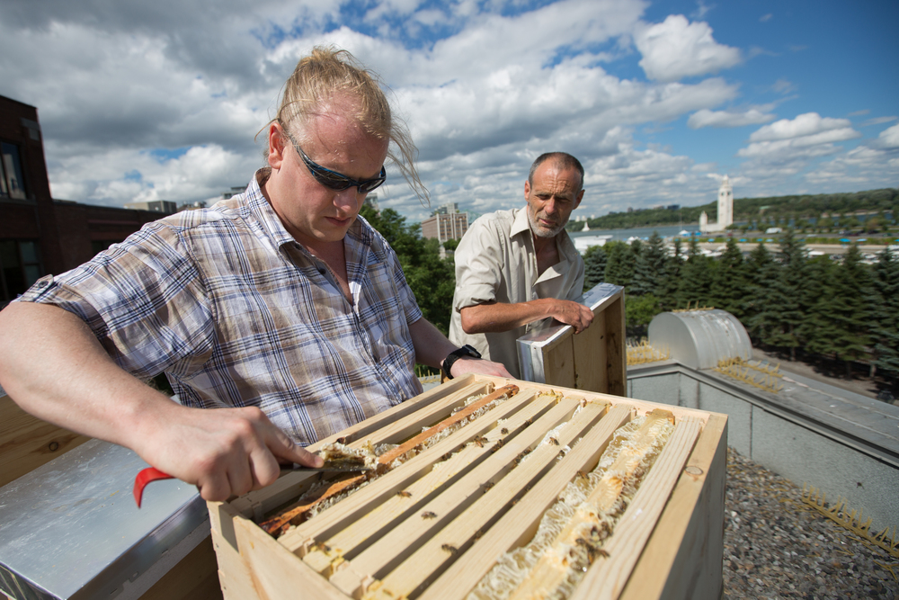 Maintaining beehives on the rooftop of Accueil Bonneau, at 427 de la Commune East Street