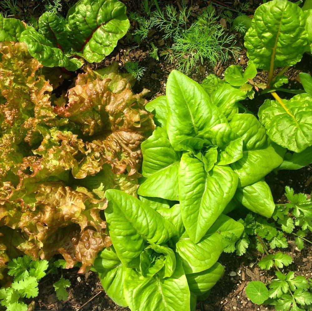Glen's Lettuce.jpg