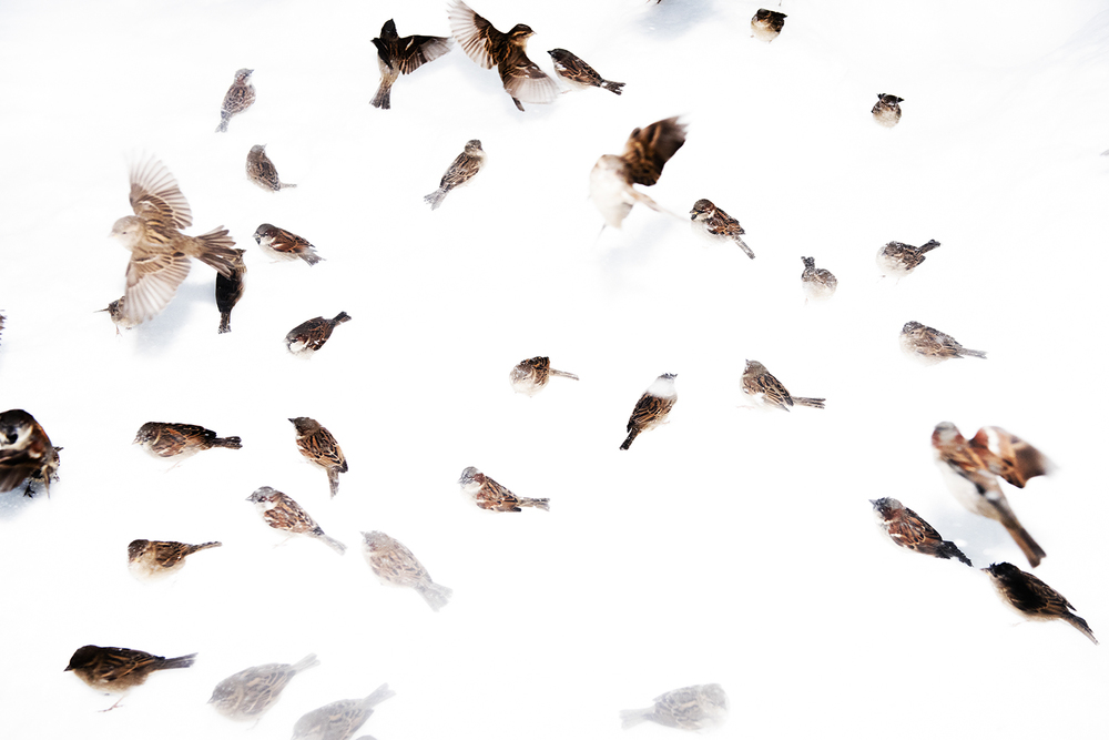 a flock of sparrows in snow. Central Park, NY. 2016   ©    Go Nakamura     photography