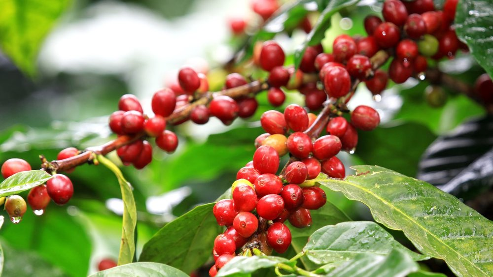 coffee-cherries.jpg