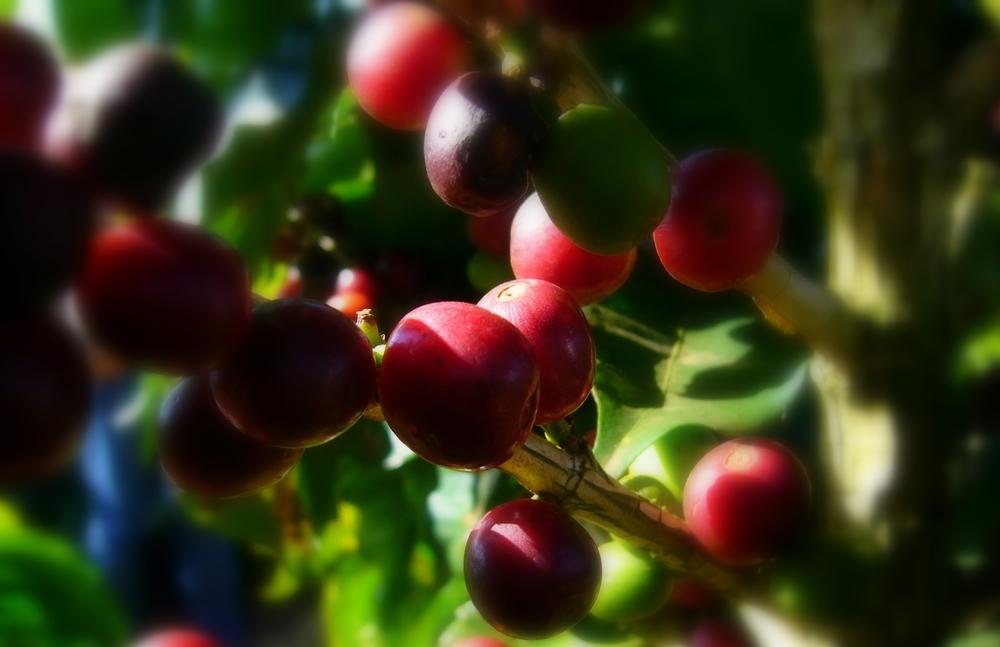 Verdes, Maduras e Senescentes