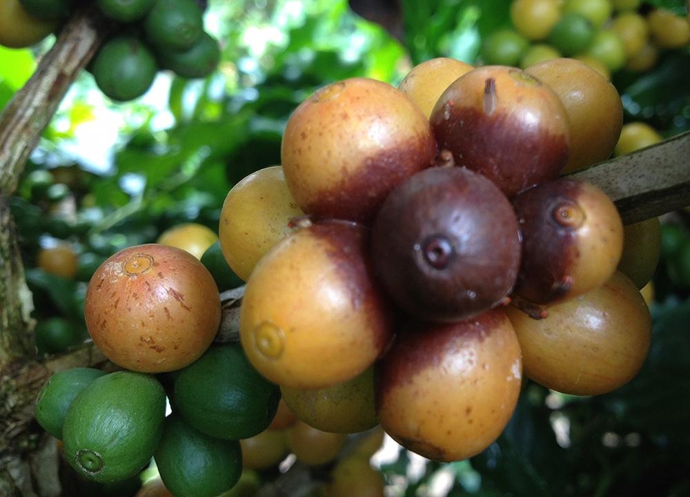 Fruto apodrecido contaminando outros