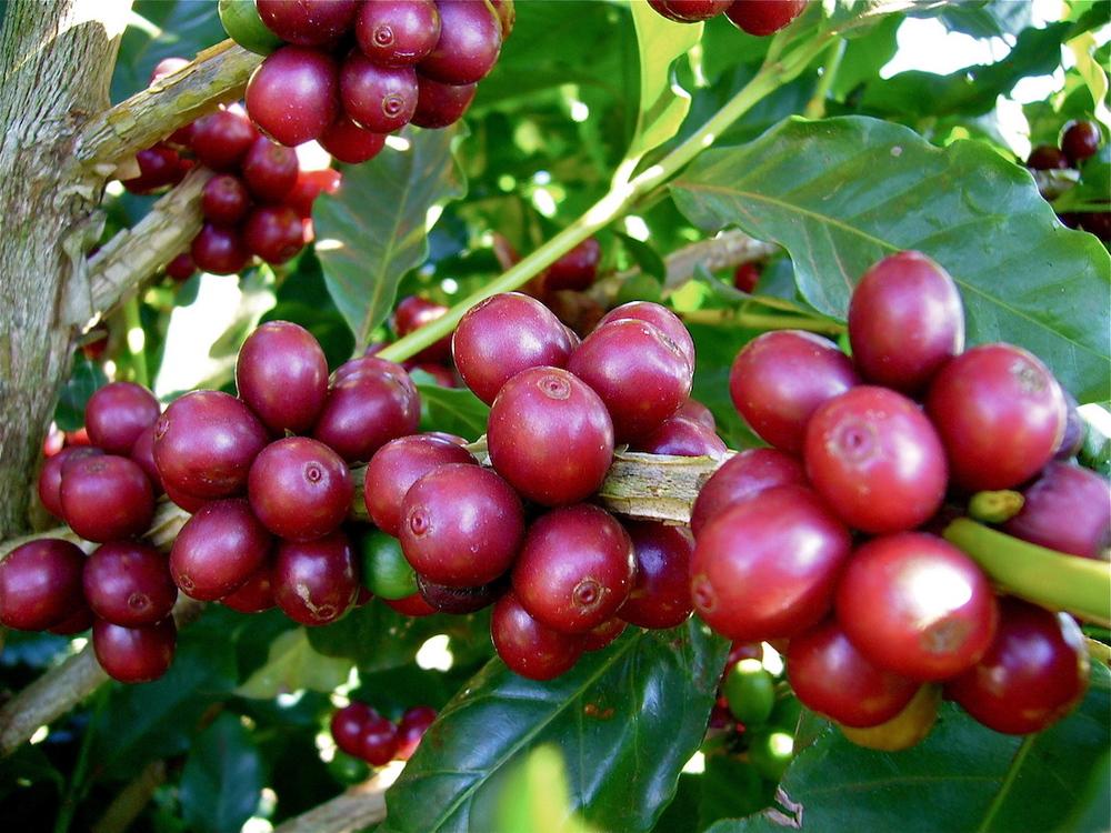 Os frutos do cafeeiro ocorrem em partes novas dos ramos.