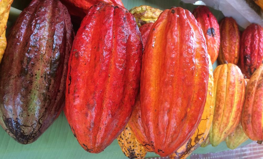 Frutos de cacaueiro - diferentes variedades.