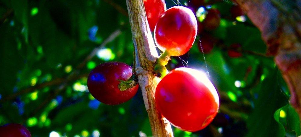 Frutas maduras.