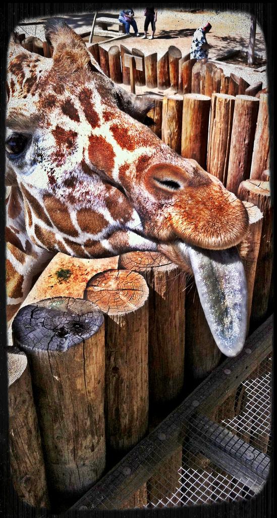 giraffeTongue.jpg
