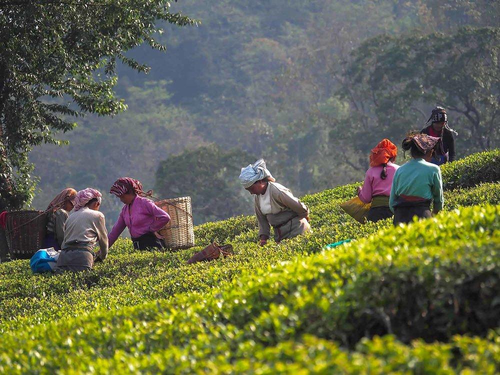 What is Darjeeling black tea.jpg