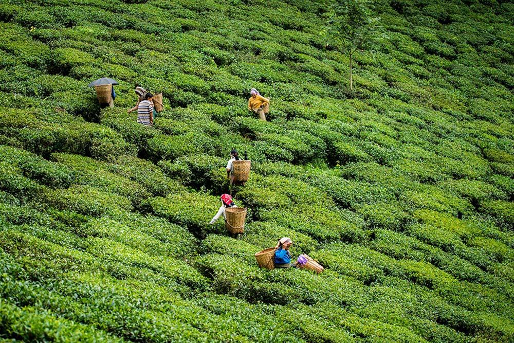 Darjeeling black tea pickers field