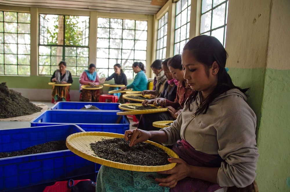 Darjeeling black tea picking