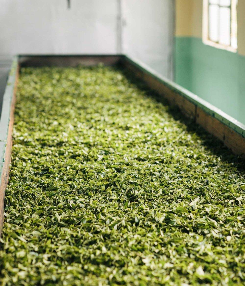 Darjeeling black tea oxidisation.jpg
