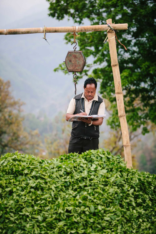 Darjeeling black tea harvest.jpg