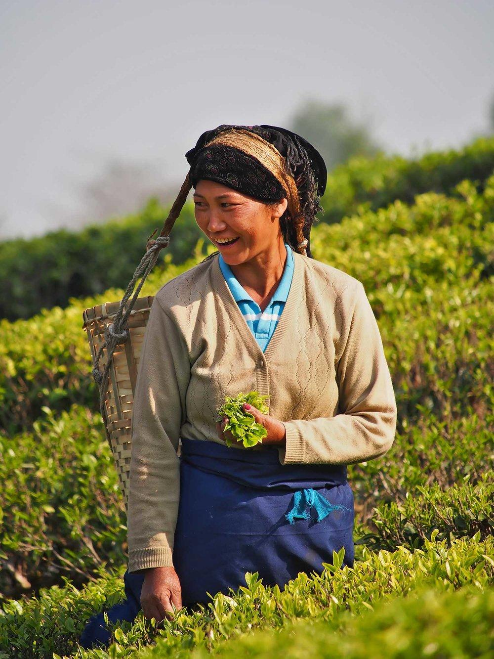 Darjeeling-black tea-picking-jpg