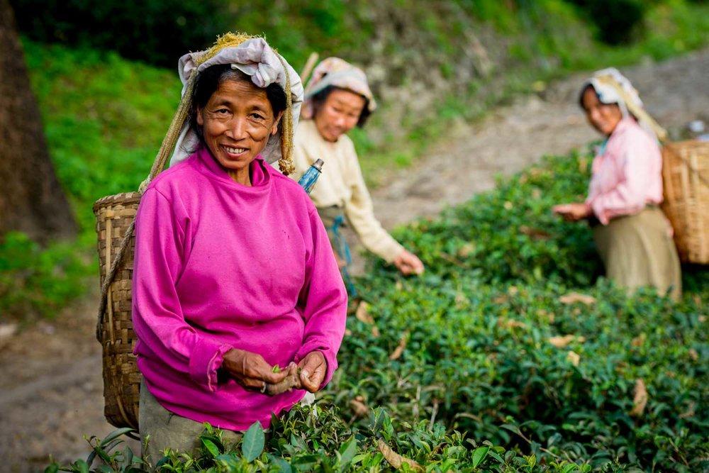 Darjeeling black tea picker