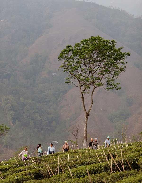 camellia sinensis caffeine tea