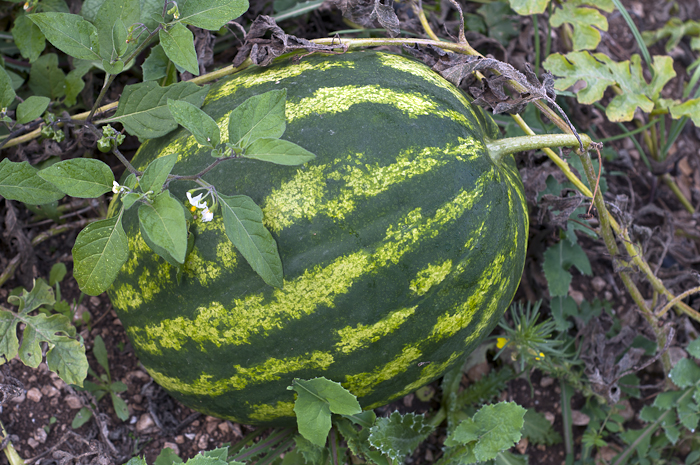 A late summer watermelon won't get much larger as the weather turns colder.