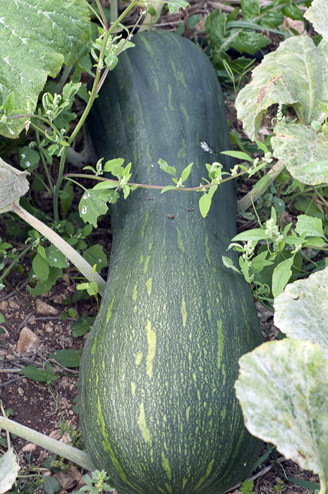 This giant zucca is the size of a big fat cat. And just as heavy.