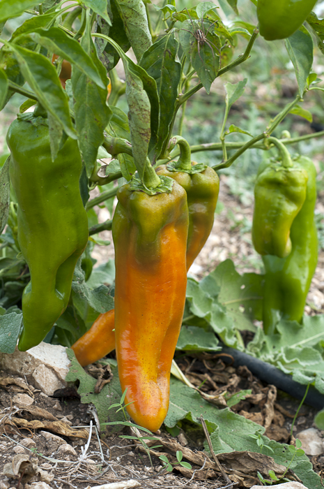 Cubanelle peppers are one of several varieties grown in the orto.