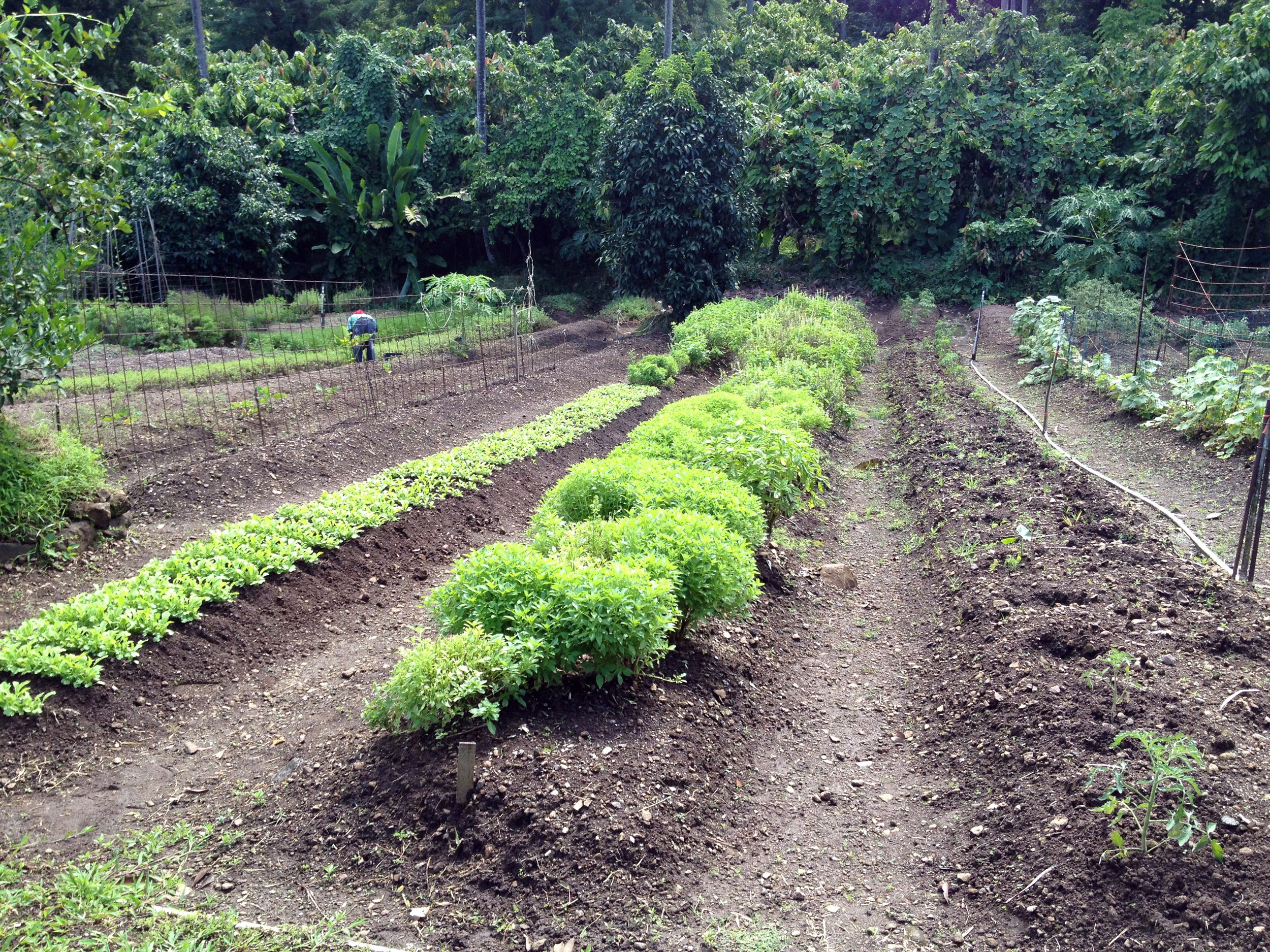 Brilliant green against moist brown soil, the plants at Emerald Estate, sister property of Jade Mountain, thrive in the tropical environment.