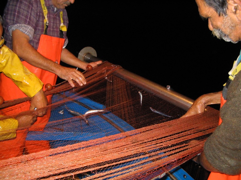 Andrea Fariello separates the anchovies from the netting as he pulls in the menaica.