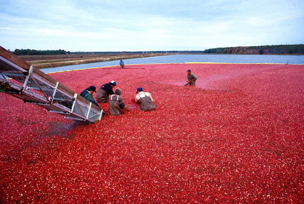 """Cranberrys beim Ernten"" by Keith Weller, USDA-ARS - Public Domain Image."
