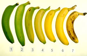 Banana Ripeness Chart Bananas are ranked in stages of ripeness from 1 (very green) to 7 (with many brown spots). Distributors and bodegas buy them between 3 and 5, and most American consumers eat them between 4 and 7 when they are sweeter and have more nutrients.