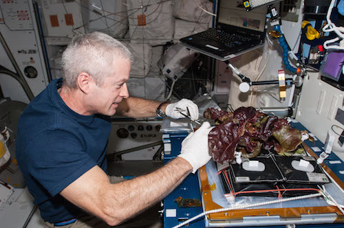In the International Space Station's Harmony node, NASA astronaut Steve Swanson, Expedition 40 commander, harvests a crop of red romaine lettuce plants that were grown from seed inside the station's Veggie facility, a low-cost plant growth chamber that uses a flat-panel light bank for plant growth and crew observation. For the Veg-01 experiment, researchers are testing and validating the Veggie hardware, and the plants will be returned to Earth to determine food safety. Photo: NASA