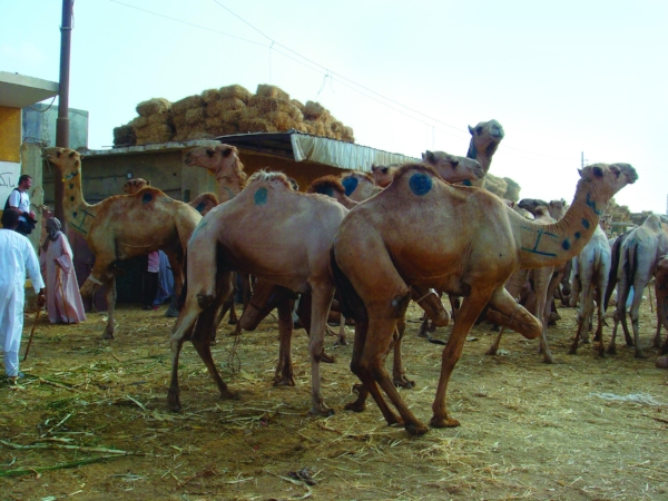 Camels at the Birqash Camel Market outside Cairo, Egypt. Camels arrive on foot from the Sudan, live meat on the hoof. Thousands of camels head to market to be auctioned. Colorful markings indicate important market information — a kind of bar code for dromedaries. PHOTO: ROBYN METCALFE