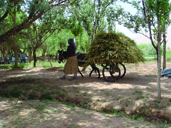 In China's Gobi desert, carts pulled by donkeys carry every sort of food imaginable, from fresh meat to wheat and other grasses. Crops are harvested by hand reaping; this woman is hustling off the morning's wheat in the cool shadows of an olive grove. PHOTO: ROBYN METCALFE