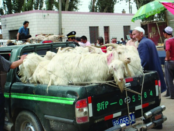 Gradually, gas-powered vehicles are replacing the donkeys, able to take dozens of animals at one time from the market to local slaughterhouses. PHOTO: ROBYN METCALFE