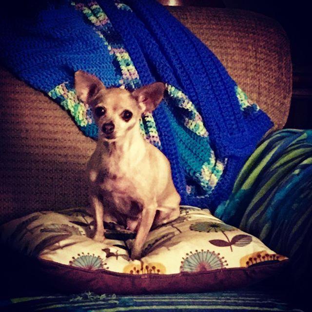 Queen Adel. #dogsofinstagram #chihuahuasofinstagram