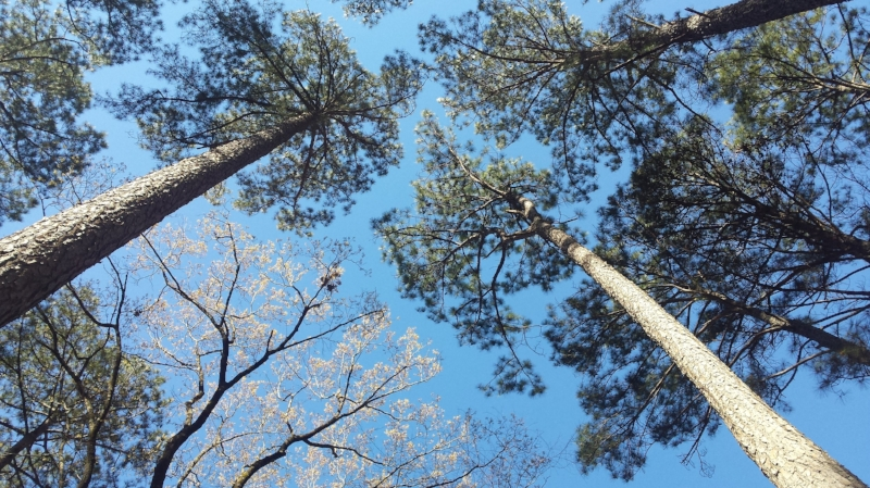The pines are so tall! Beautiful against a brilliant March sky.