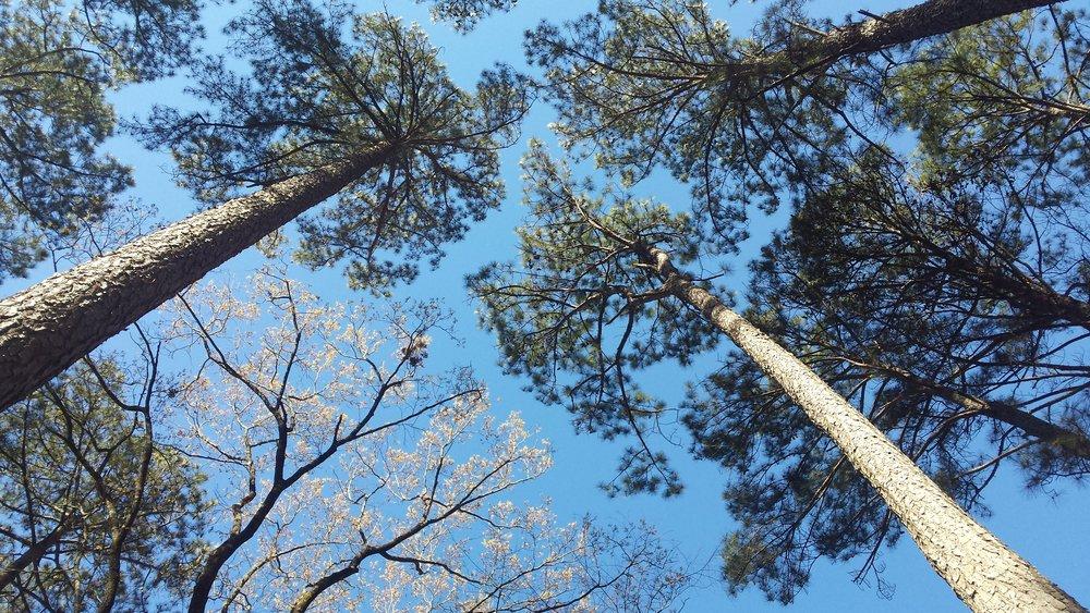treetops.jpg