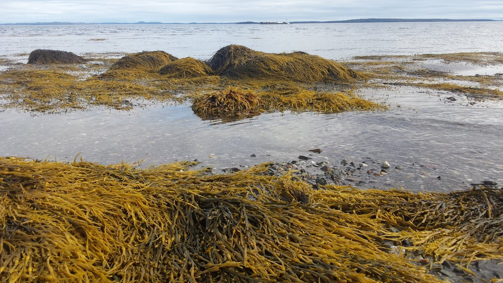 At low tide, the seaweed draped over the boulders, but at high tide, it stands up and dances in the current .