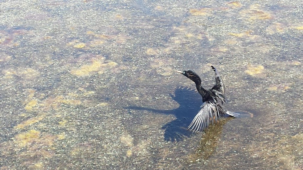Cormorant drying his feathers after a fishing dive
