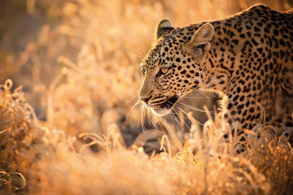Südafrika-Leopard.jpg