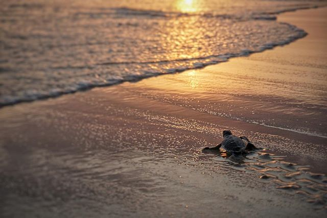 @nihisumba just in time to witness a hatching and then release these little dudes 🐢 #twonightsinsumba #twonightsinindonesia #TNIsumba #TNIindonesia
