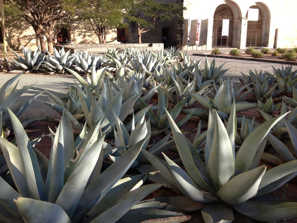 agaves in town.JPG