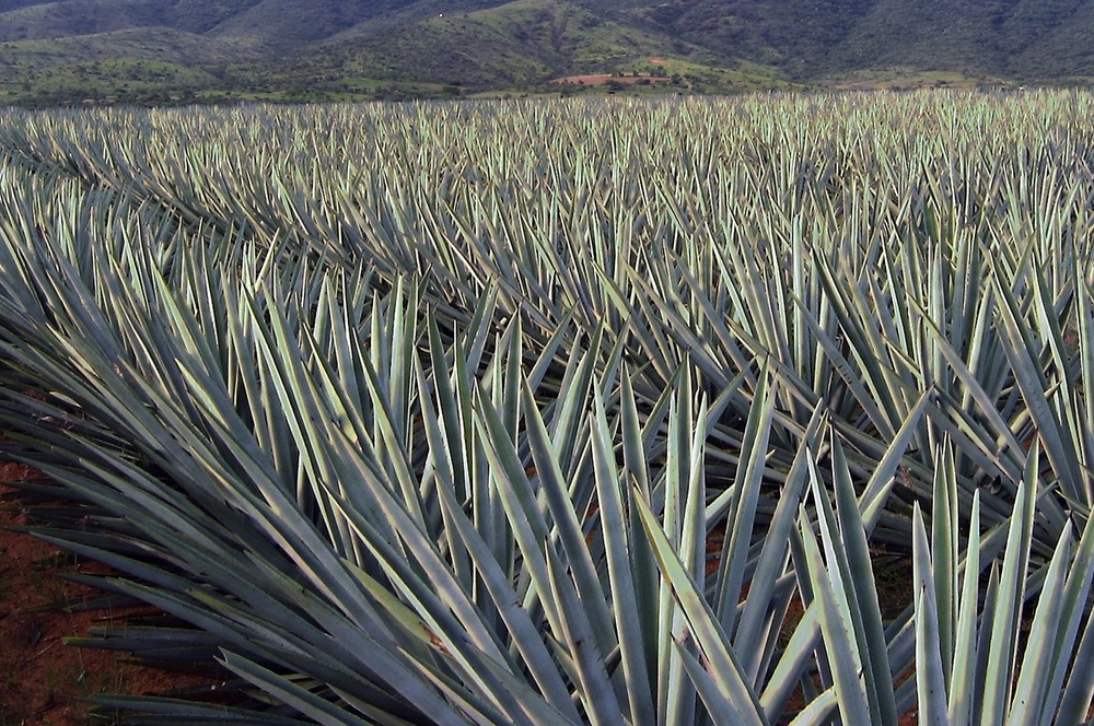 big field of agave.JPG