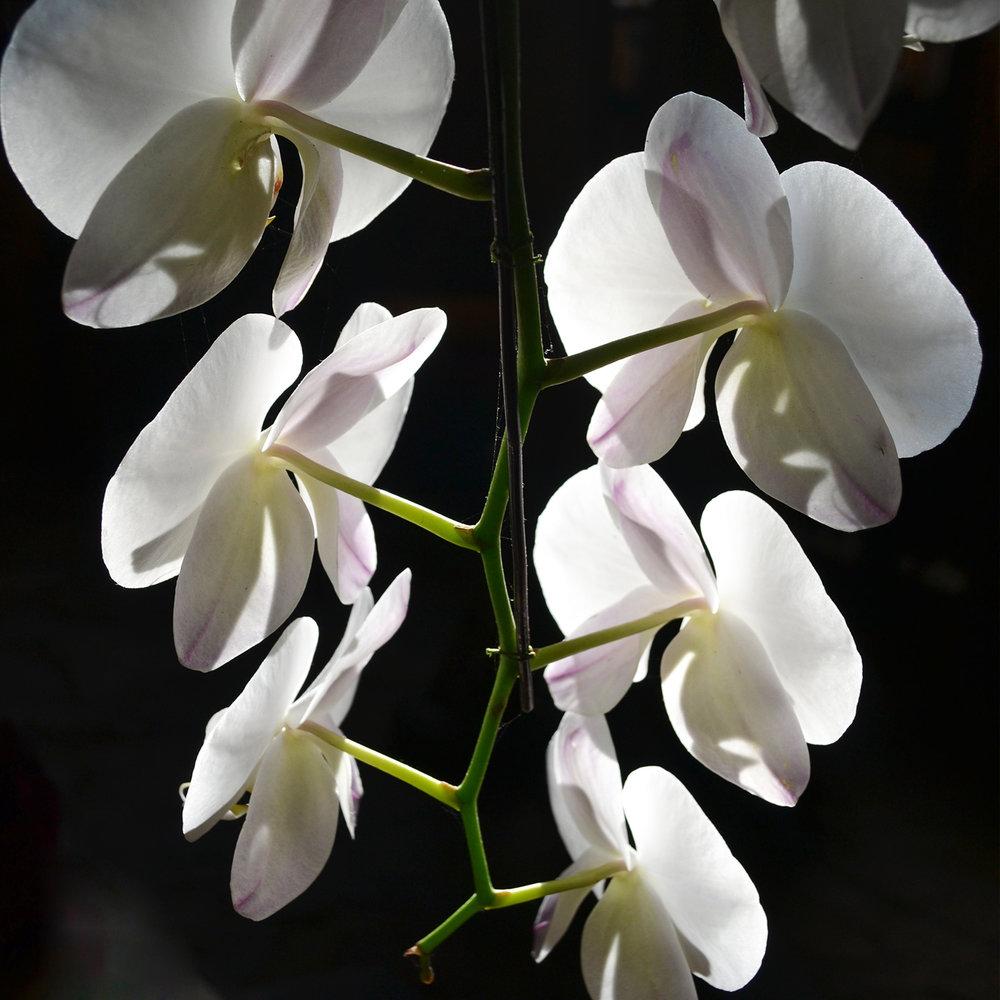 orchida.jpg