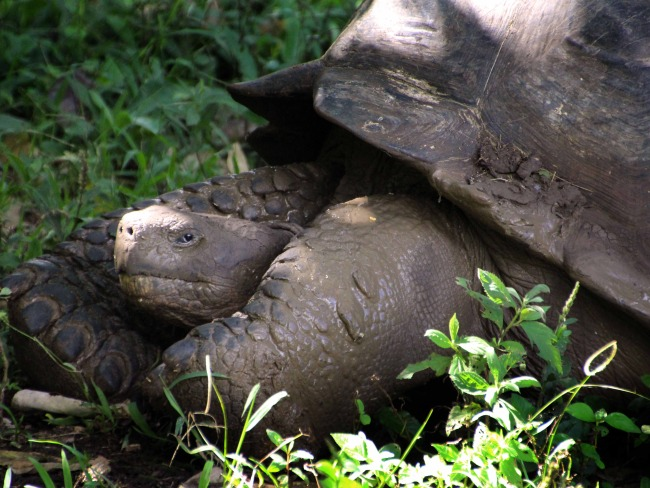 Galapagos Islands, Giant Tortoise after Mud Bath, Santa Cruz.jpg